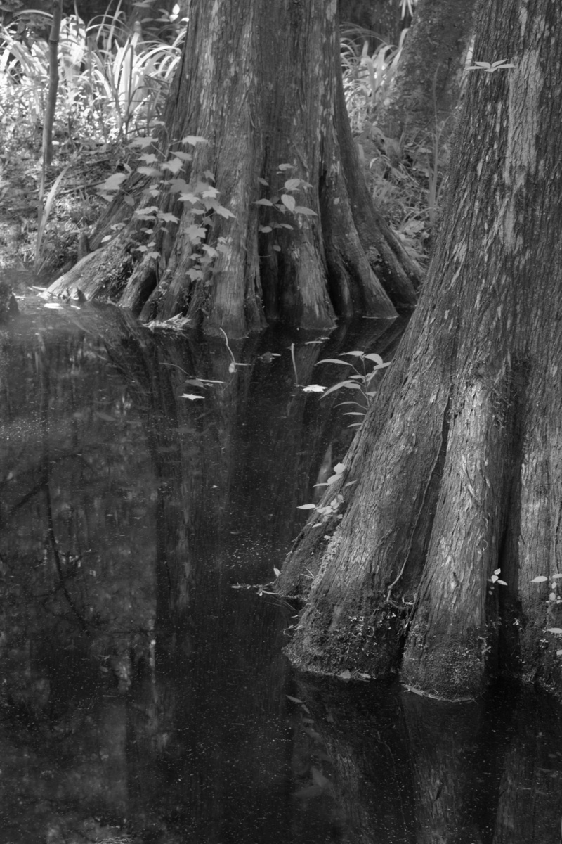 Cypress Trunks