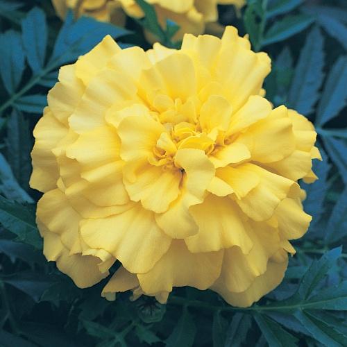 Zenith Lemon Yellow