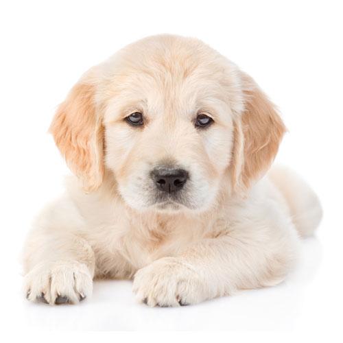 Golden Retriever Puppy Lying