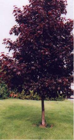 Crimson Sentry Maple