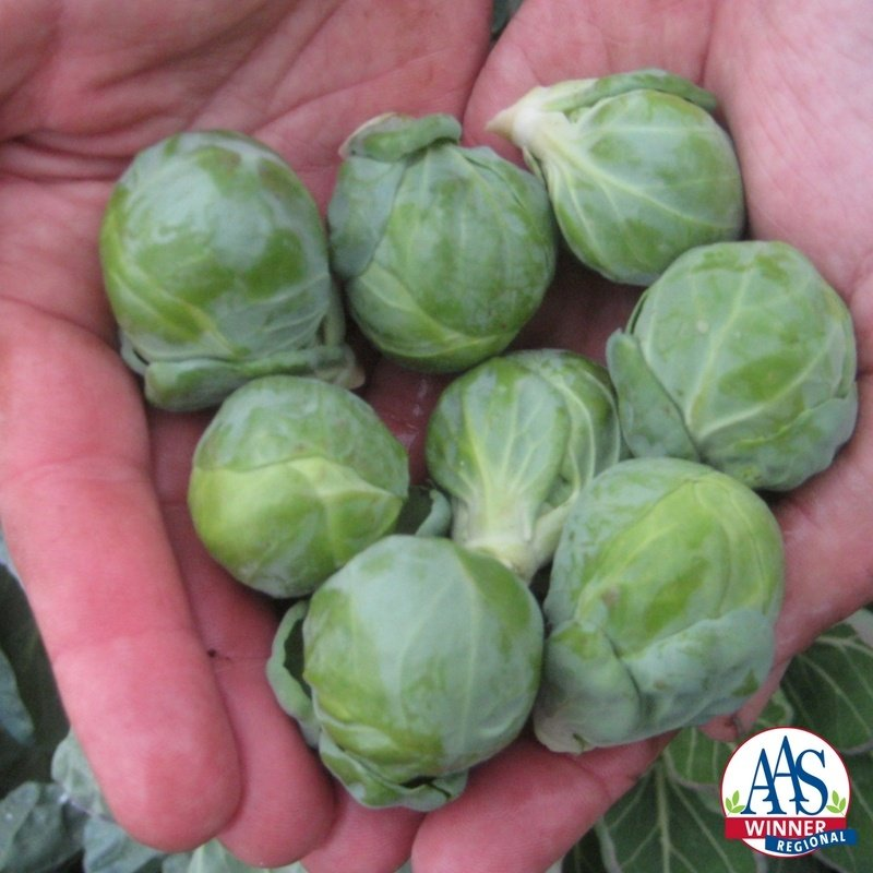 Brussels Sprout Hestia