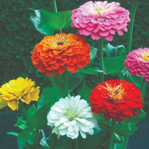 Giant Dahlia Flowered Gold Medal Mix