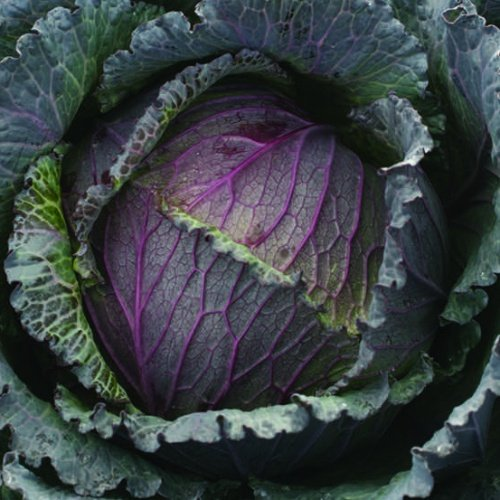 Cabbage Deadon