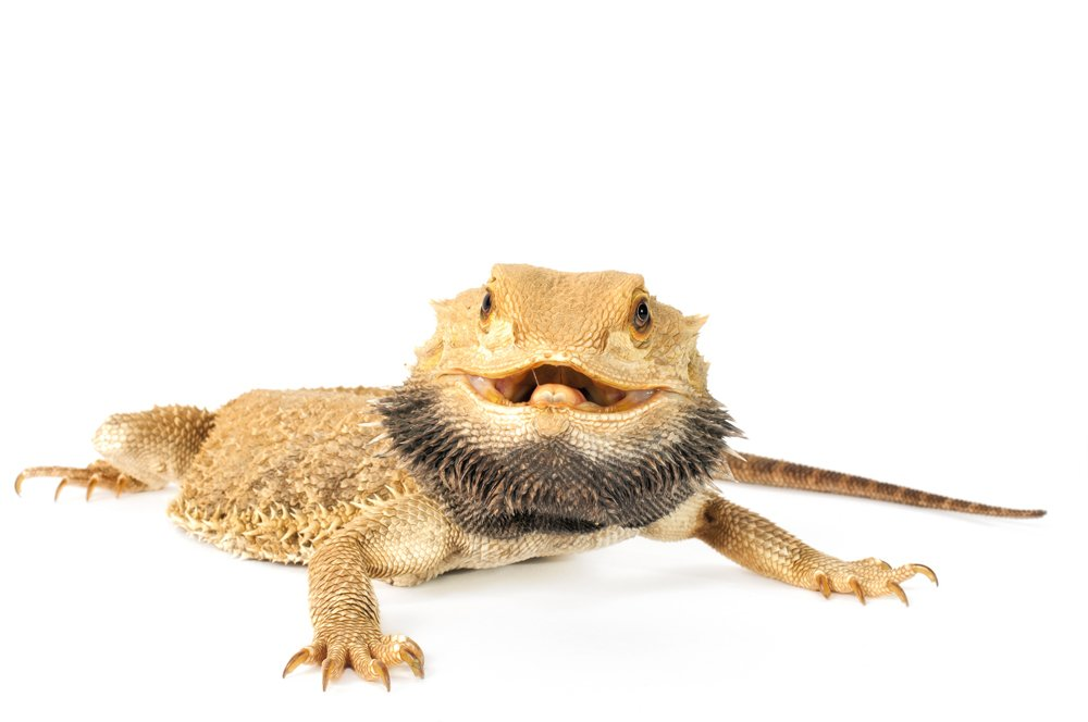 Smiling Bearded Dragon