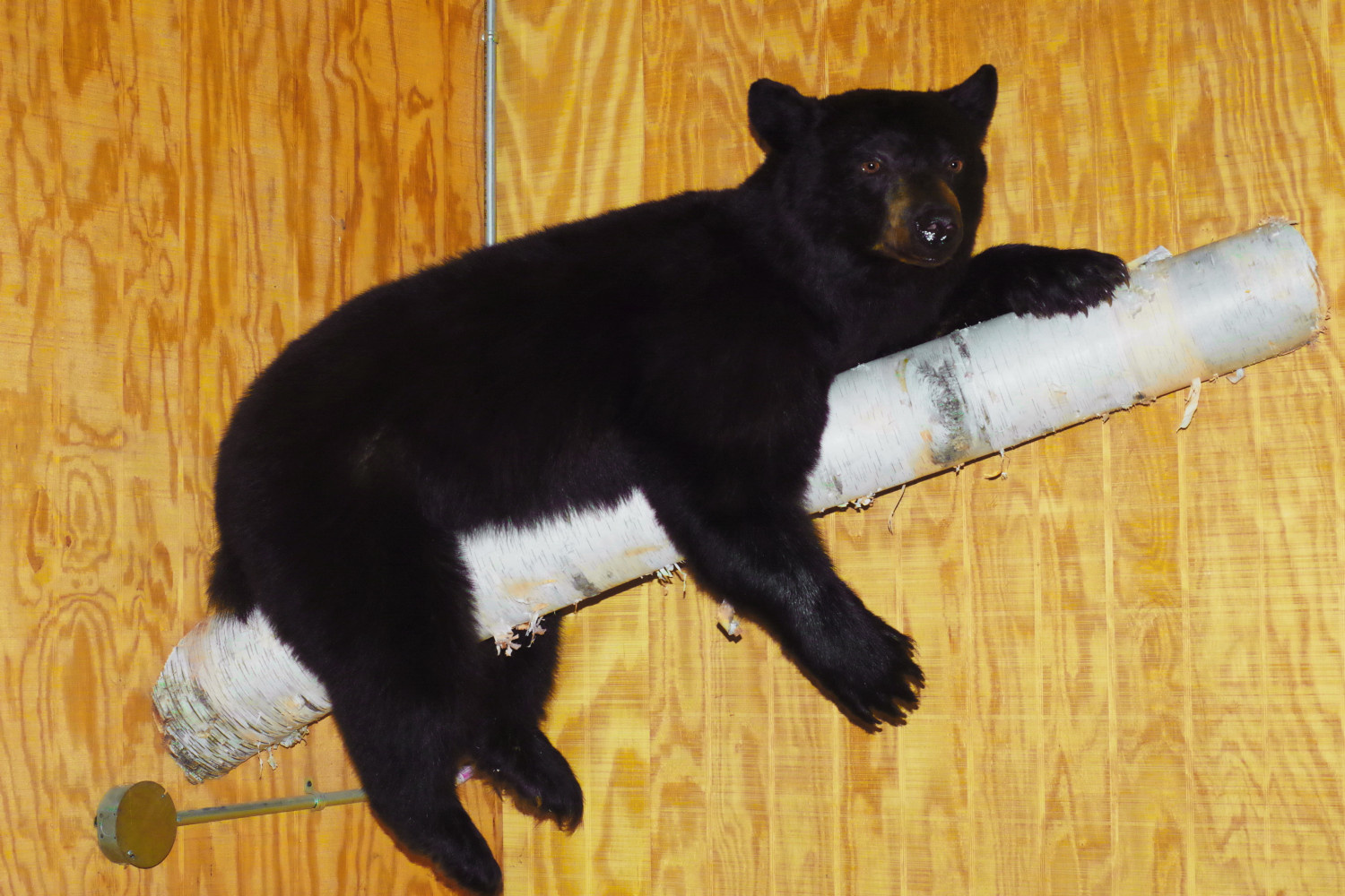 A great choice for bears under 150 pounds. A showroom favorite.