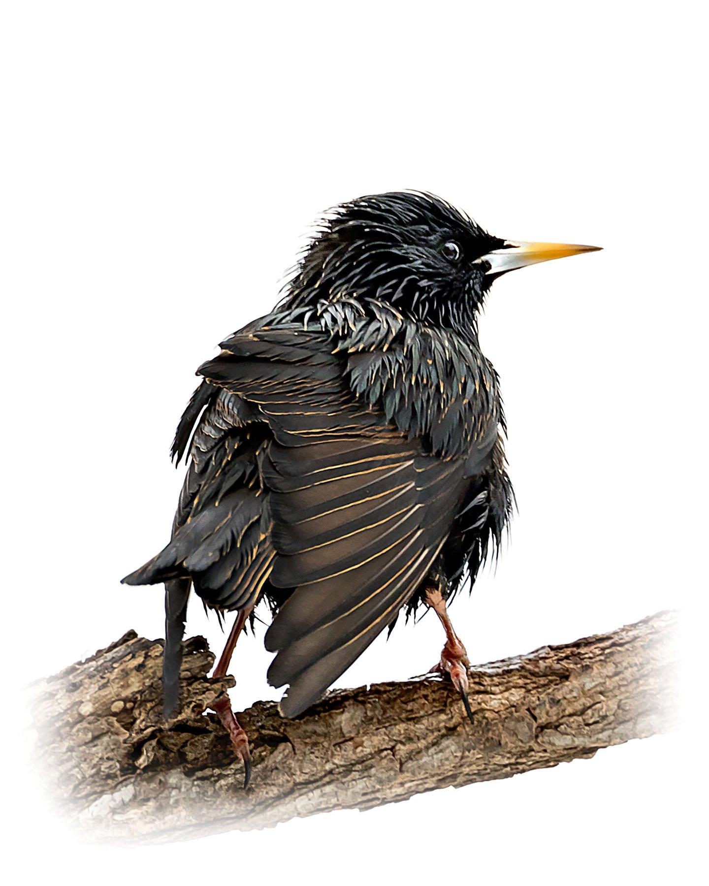 European Starling 6