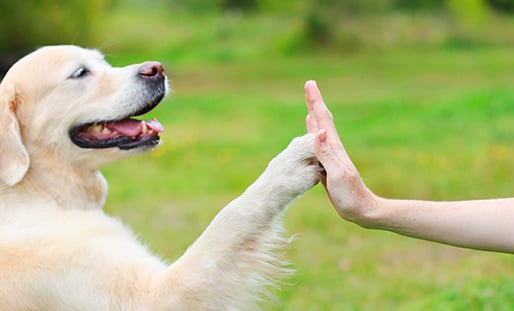 Golden Retriever dog giving paw owner