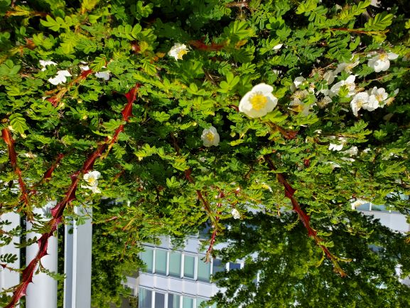 Rosa pteracantha, aka 'Red Wing', was spotted by members, Karin and Joan, in False Creek.