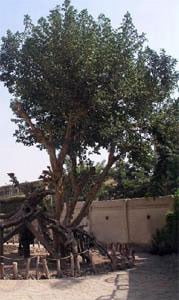 Marys Tree Egypt