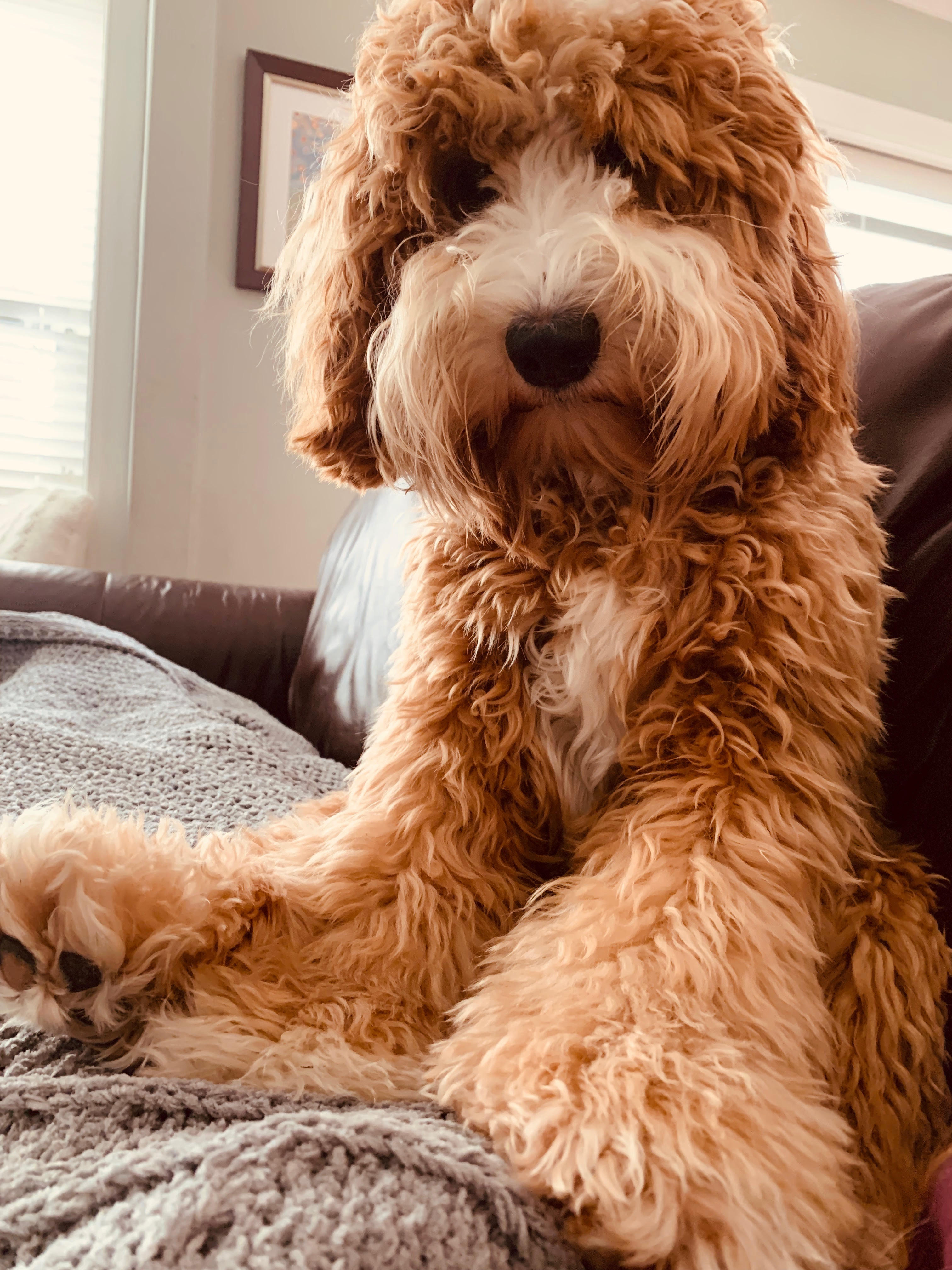 Lucy Labradoodle