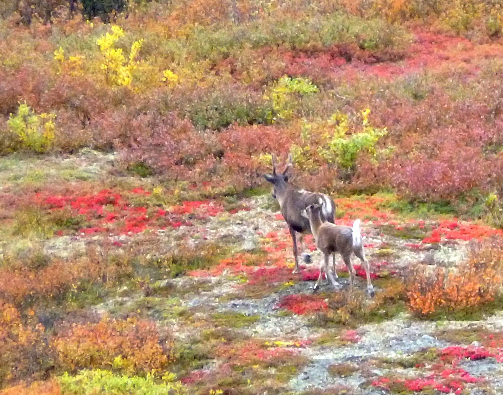 Caribous in the Meadow
