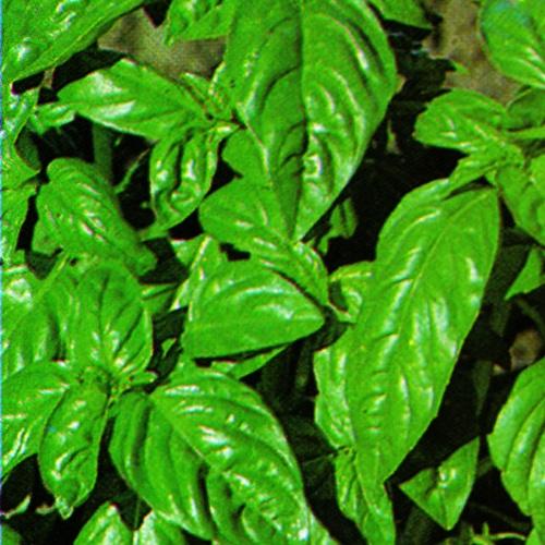 Basil Sweet Leaf Italian