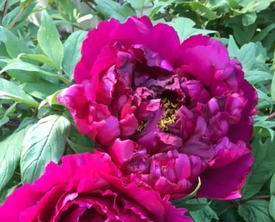 A gorgeous tree peony in full flower in Victoria's garden.
