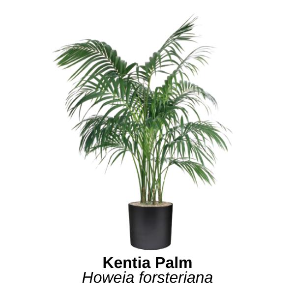 https://0201.nccdn.net/1_2/000/000/101/006/kentia-palm.png