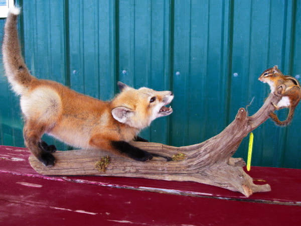red-fox-pup-playing-with-chipmunk