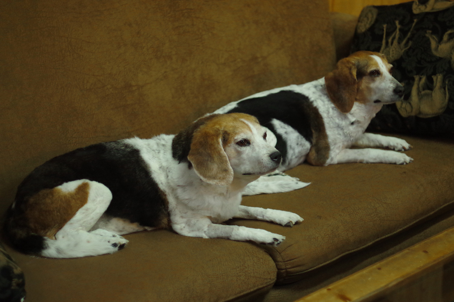 Two beagles done for the same family