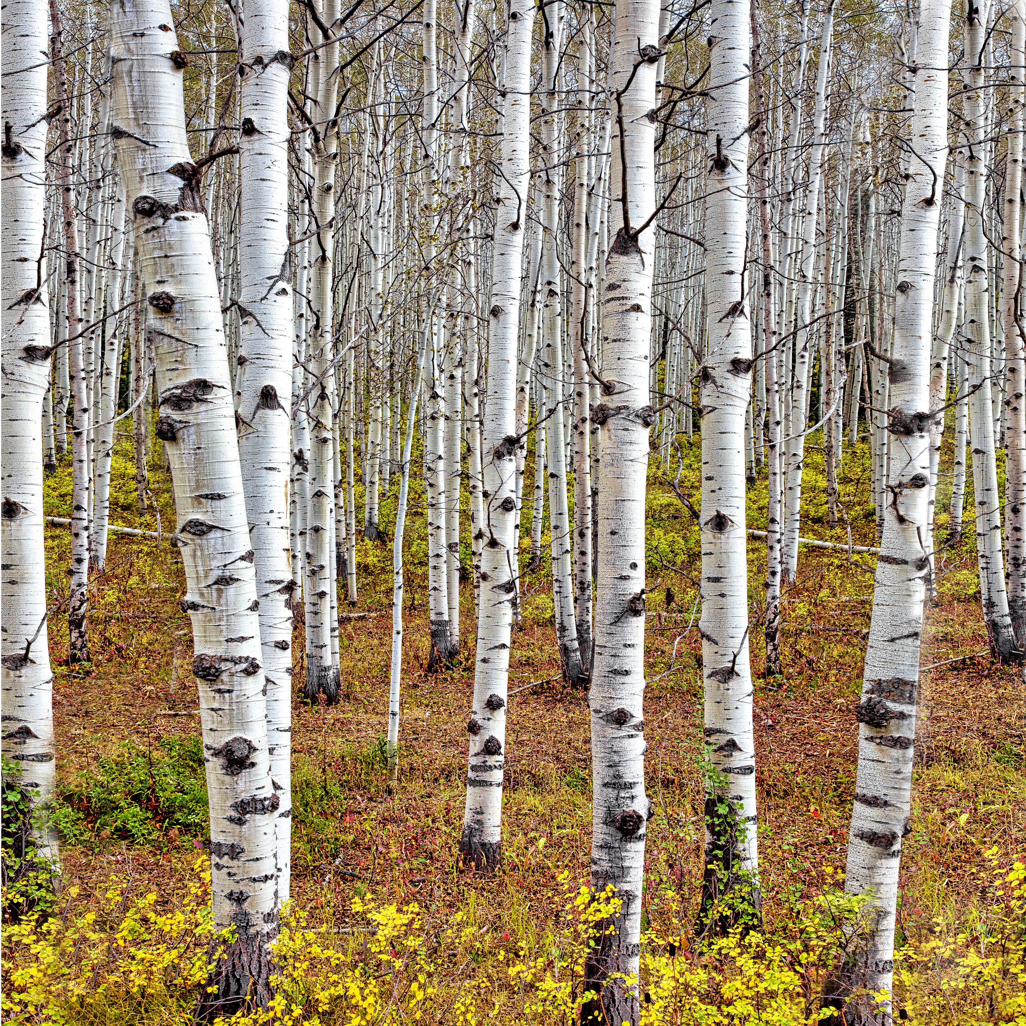 ASPEN TRUNKS - A favorit shot of many landscape photographers. I have tried several myself. I like this one,. but I am still looking.