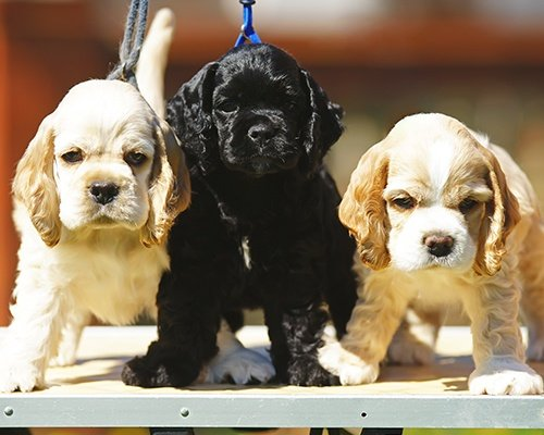 Three American Cocker Spaniel Puppies