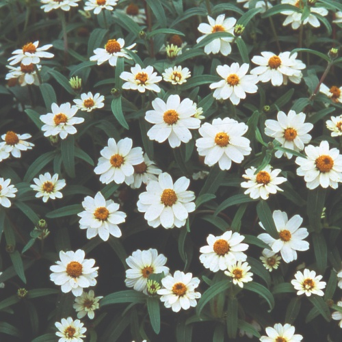 Zinnia Angustifolia Crystal White