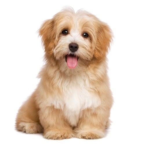 Beautiful Happy Reddish Havanese Puppy Dog
