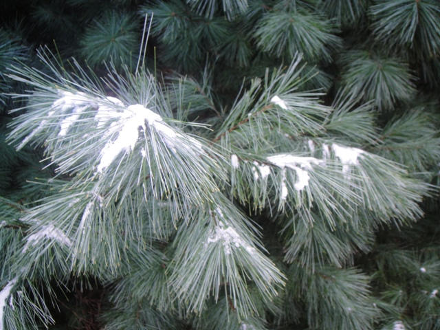 White pines with a light dusting of snow.