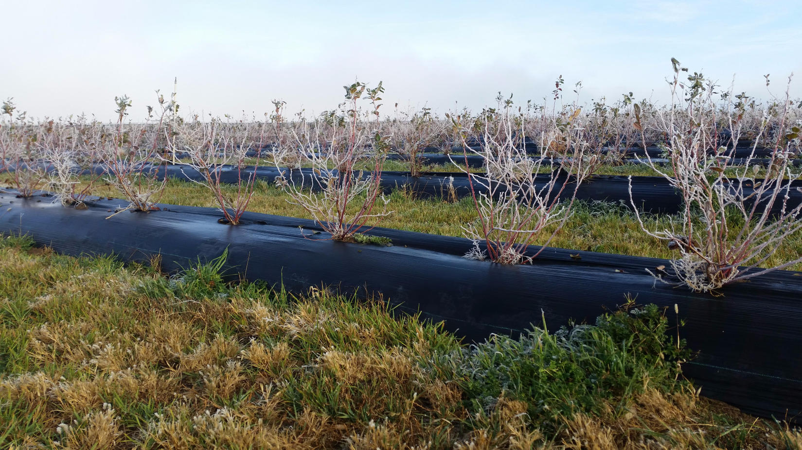 Frosted Blueberry Field