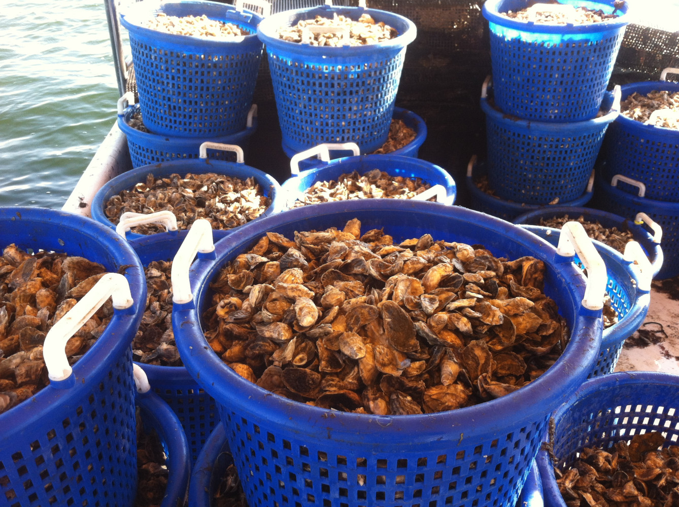 """11-4-12 WE HARVESTED 50 BASKETS OF 1""""+ OYSTER SEED FROM OUR SUBMERGED LEASE"""