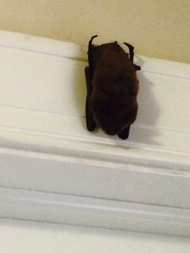 Bat Removal From The Attic Ohio