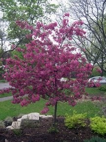 Purple Flowering Crabapple
