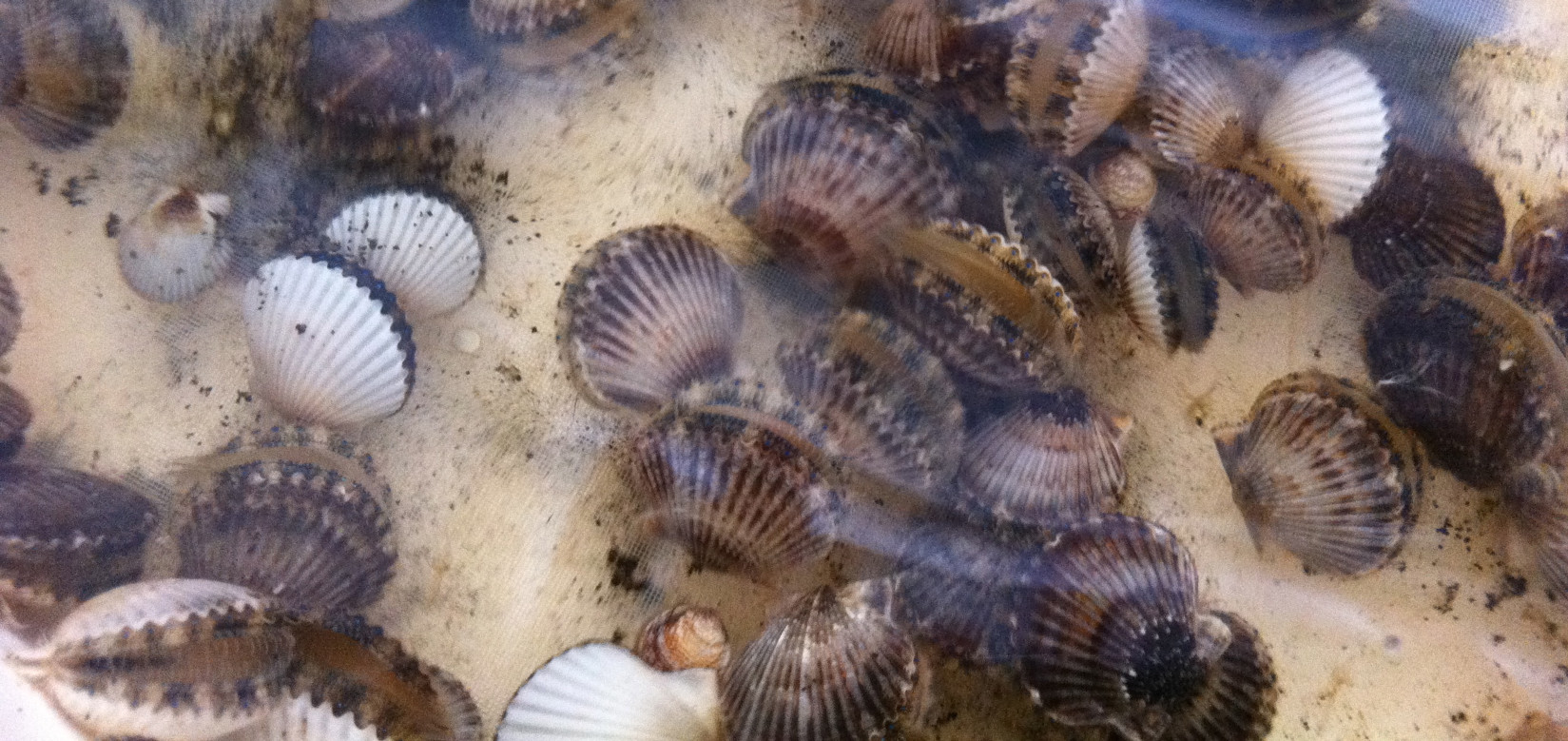 BAY SHELLFISH.      .        JUVENILE SCALLOPS  AVAILABLE EVERY FALL  FLORIDA BAY SCALLOPS WERE COMMERCIALLY HARVESTED UNITL A MORATORIUM IN 1994 FRESH (NOT FROZEN) BAY SCALLOP MEAT HAS BEEN A LONG ESTABLISHED AND HIGH VALUE MARKET IN THE U.S. A NICHE MARKET FOR A LIVE WHOLE SCALLOP ALSO EXISTS