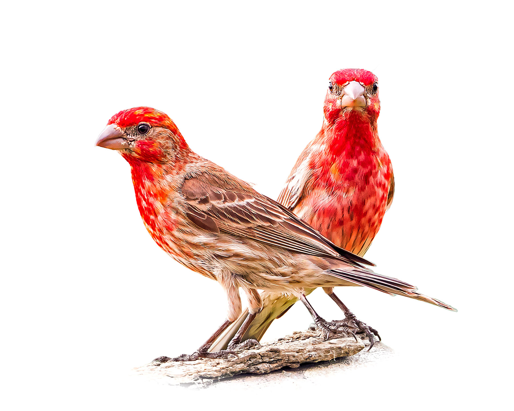 House Finch 13
