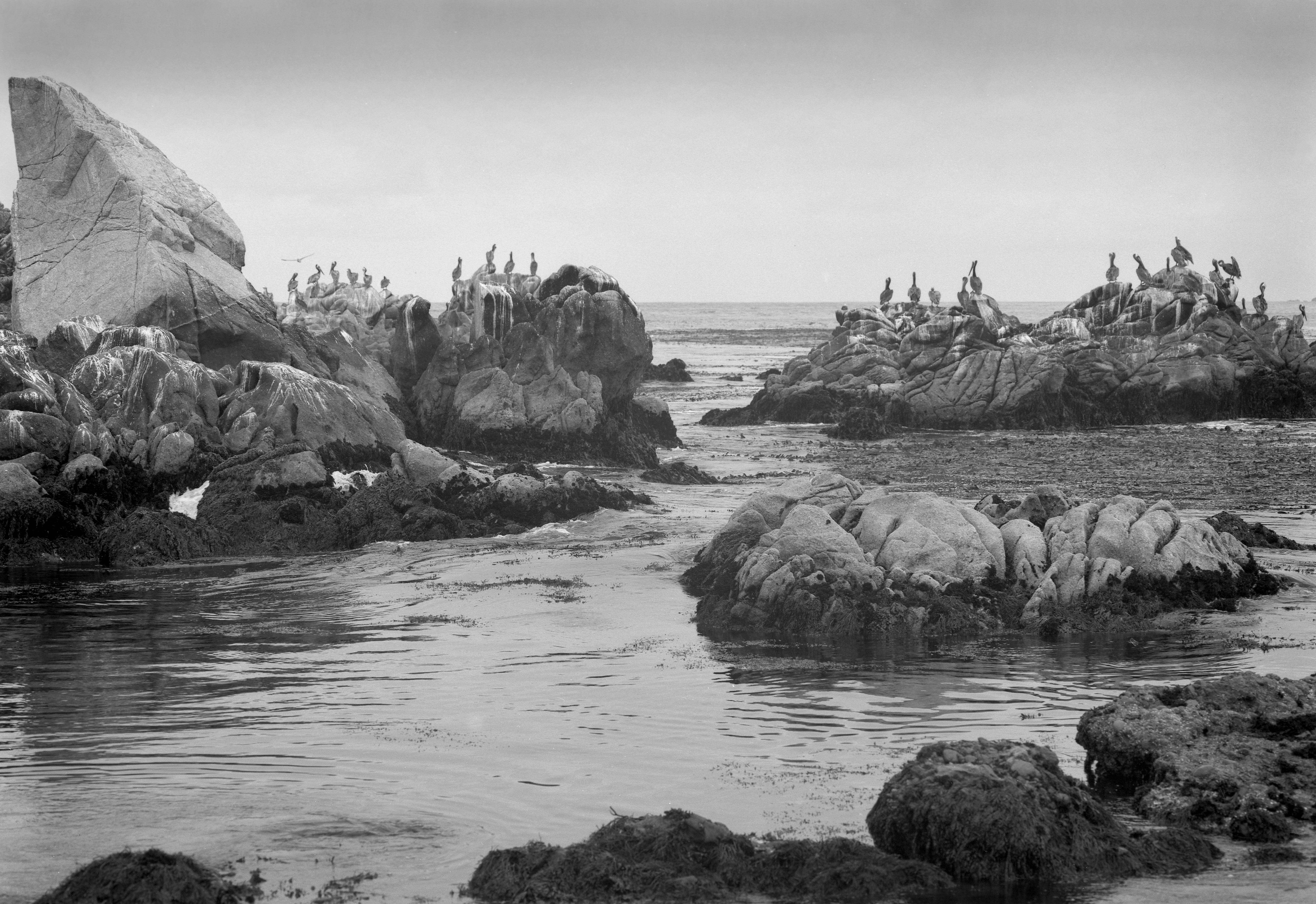 Point Lobos Pelicans