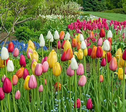 Mix in new bulbs to improve the color show of your tulips.