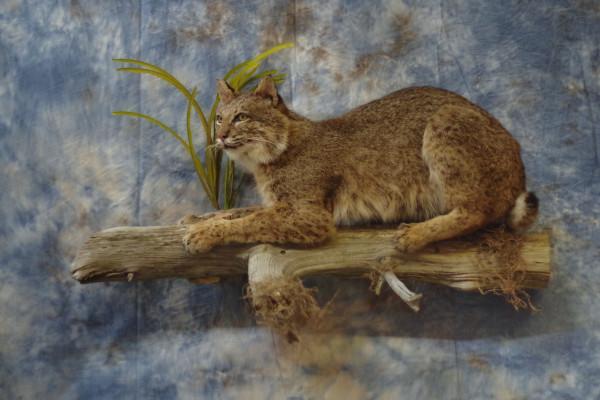 bobcat-sharpening-claws