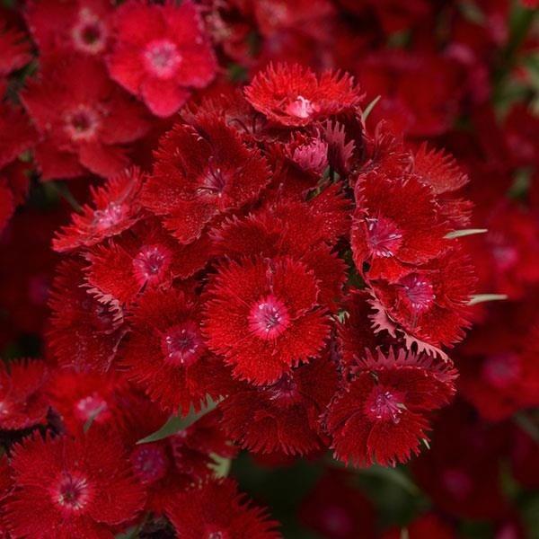 Dianthus Rockin' TM Red