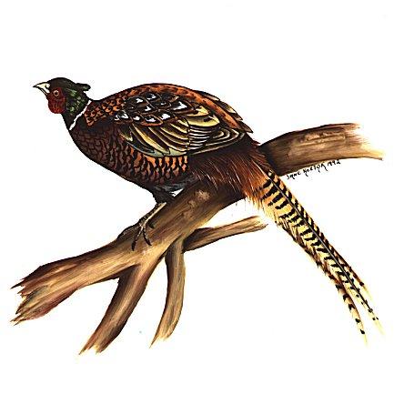 https://0201.nccdn.net/1_2/000/000/116/021/pheasant.jpg