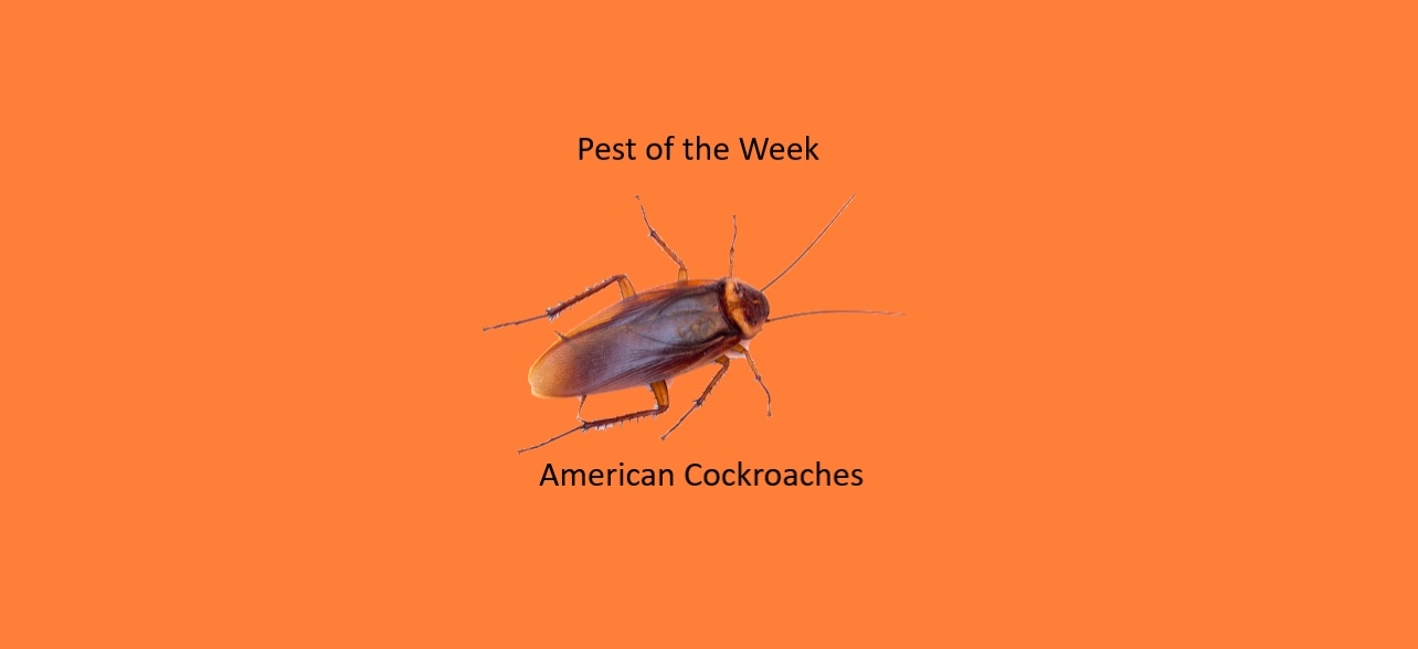 https://0201.nccdn.net/1_2/000/000/116/0c6/American-Cockroaches-1284x588.jpg