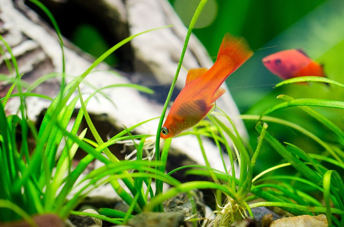 Swordtail Fish in the Aquarium