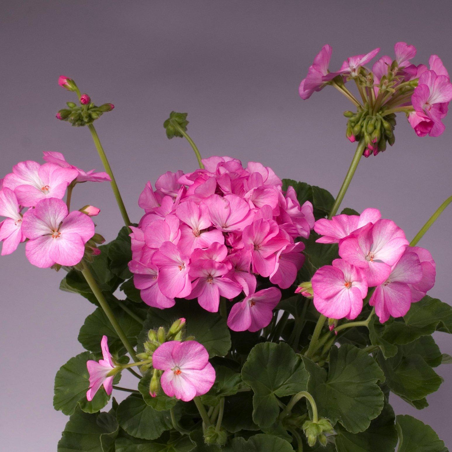 Geranium Nano pink bicolor