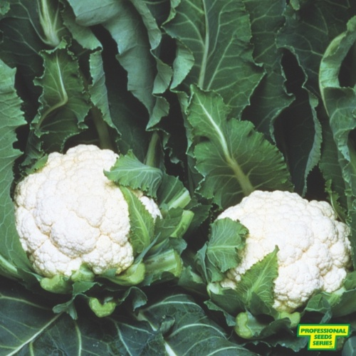 Cauliflower Baby F1