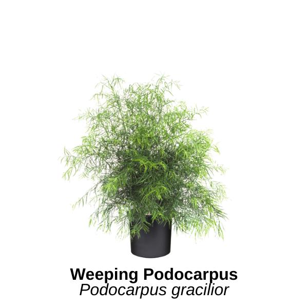 https://0201.nccdn.net/1_2/000/000/11e/240/weeping-podocarpus.png