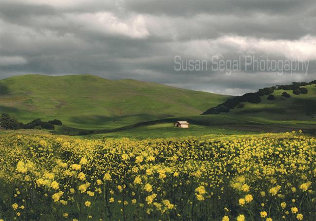 Green Hills & Mustard - Napa