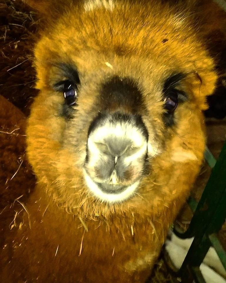 Yellow Alpaca