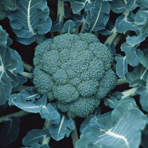 Broccoli Marathon