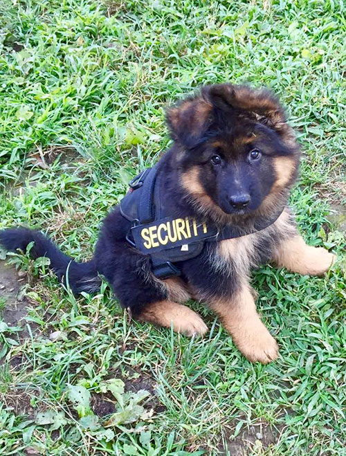 Security Dog In Training