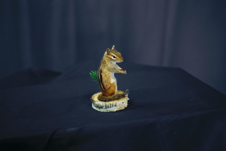 chipmunk-holding-spruce-cone