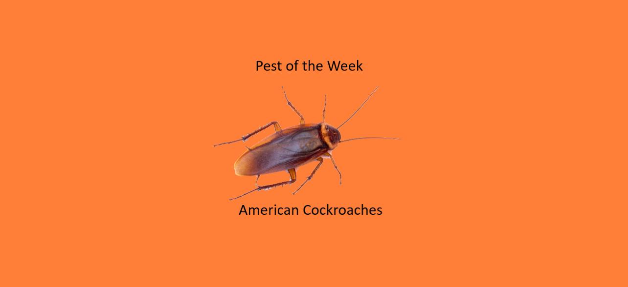 https://0201.nccdn.net/1_2/000/000/125/dfe/American-Cockroaches-1284x588.jpg