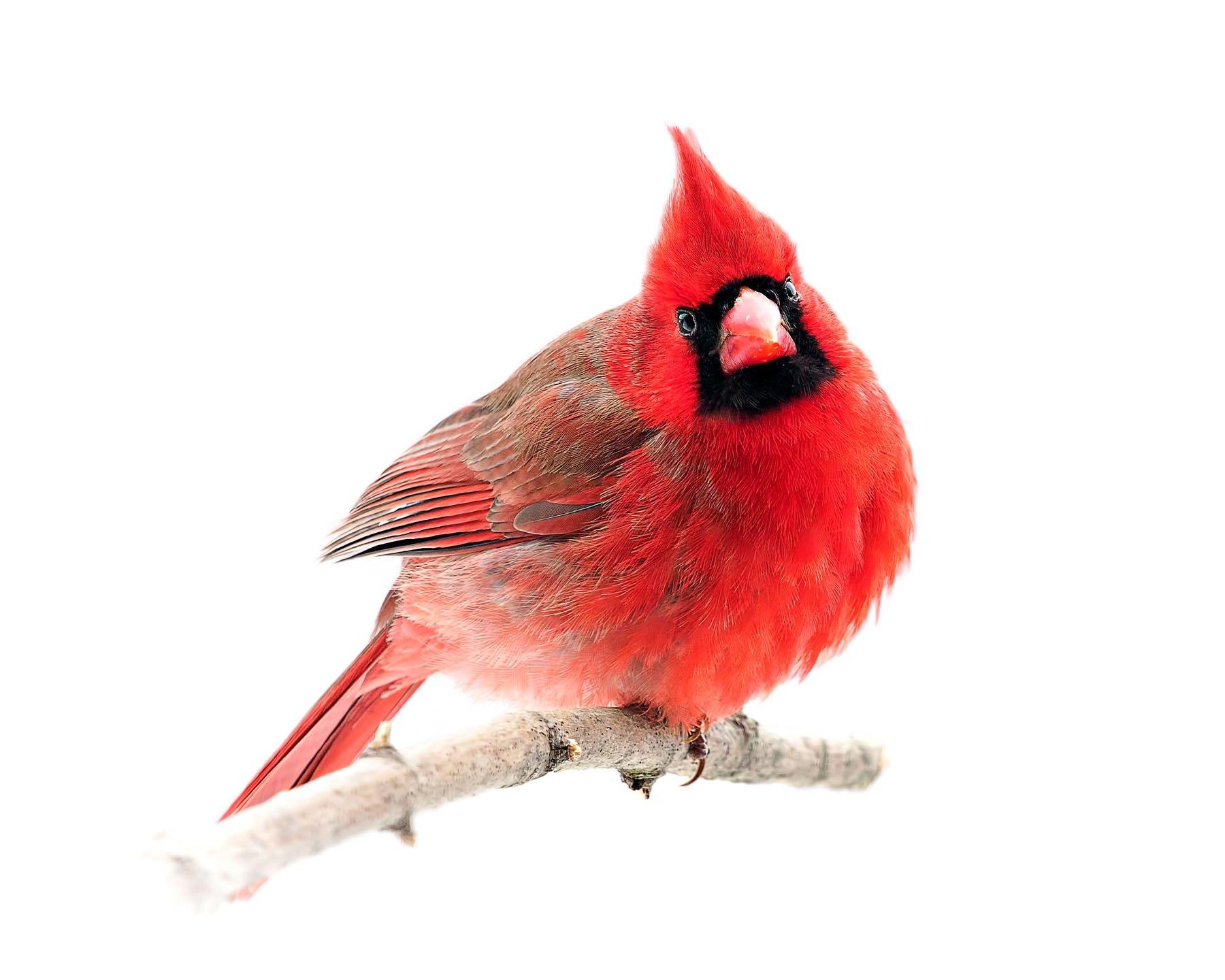 Northern Cardinal 13