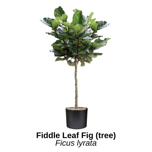 https://0201.nccdn.net/1_2/000/000/127/70a/fiddle-leaf-fig-tree.png