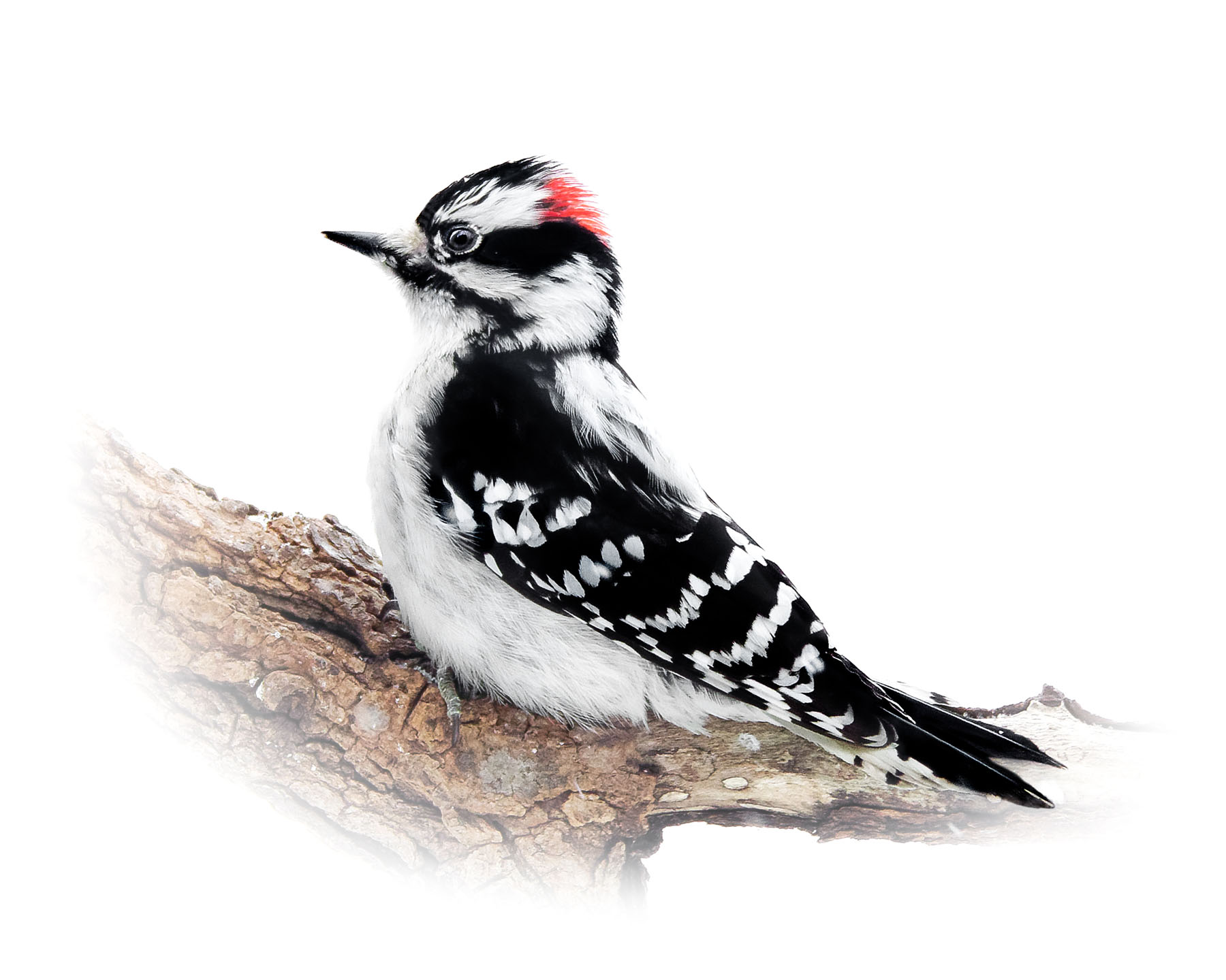 Downey Woodpecker 10
